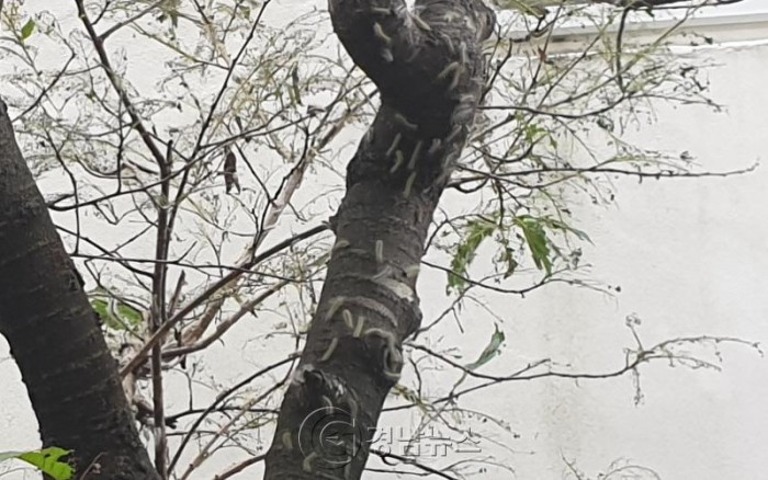 이현동 모 유치원 나무에 '흰불나방 유충' 갑자기 번져