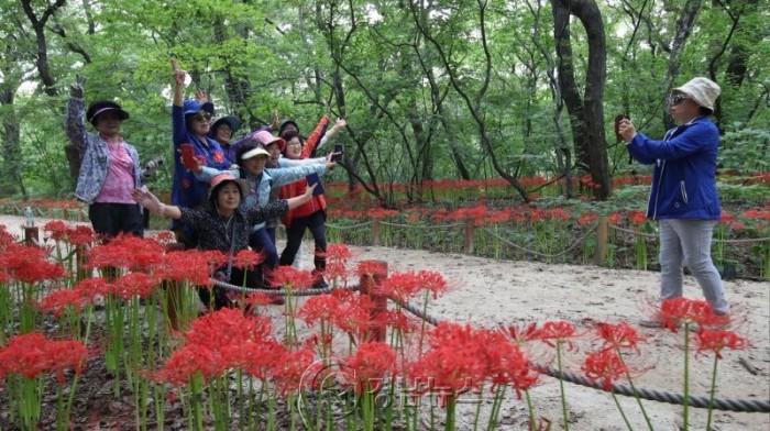 가을의 전령 꽃무릇 만개...추석연휴 힐링 산삼축제