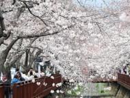 진해의 벚꽃