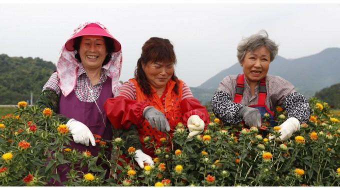 약초 고장 산청 홍화꽃 수확 한창